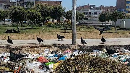 Serfor autorizó caza sanitaria de gallinazos en Chiclayo