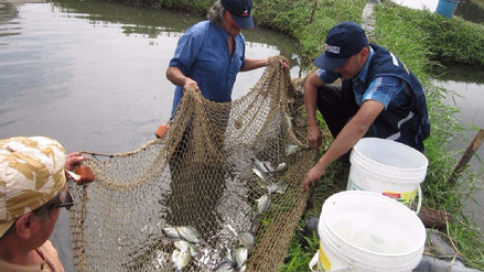 A fines de mes se inicia venta de tilapia en Muy Finca y Batangrande