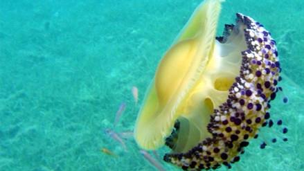 Descubren el primer animal que duerme sin cerebro: la medusa