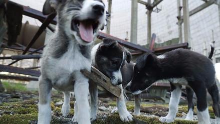 Conoce a los cachorros radioactivos de Chernóbil que nadie puede tocar