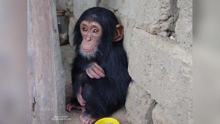 África central: se intensifica la crisis por la carne de grandes simios africanos