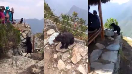 Un cachorro de oso andino sorprendió a turistas en Machu Picchu