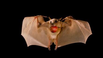Murciélagos y virus: una lucha contra la mala reputación