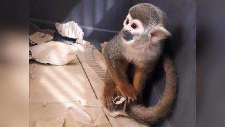 Recuperan mono que era vendido a través de internet en Chiclayo