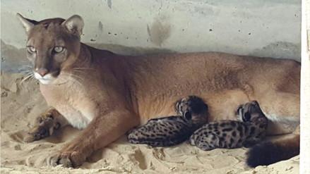 Nacieron los primeros pumas en cautiverio del zoológico de Piura