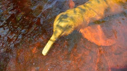 Las situación de los delfines de río dice mucho sobre los problemas de la Amazonía