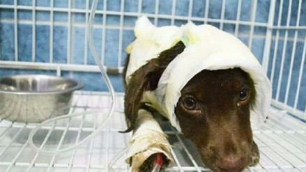 Un hombre irá a juicio en Argentina por despellejar a su perro de tres meses
