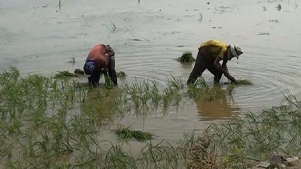 Más de 30 mil hectáreas de arroz serán instaladas en el Valle Chancay