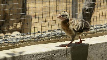 Nacen pavas aliblancas en temporada atípica en Olmos