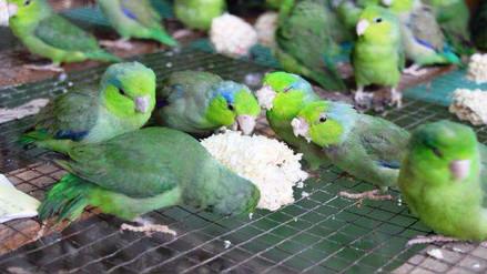 Aves, mamíferos y reptiles son las especies que más se trafican en Chiclayo