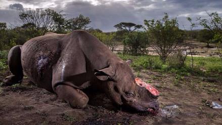 Un rinoceronte sin cuerno: la historia detrás de esta desoladora foto