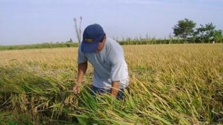 Baja producción de arroz por plagas del Niño costero en Guadalupe