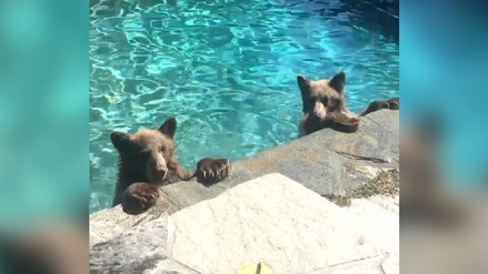 Video | Familia de osos invade piscina para escapar del calor en Estados Unidos
