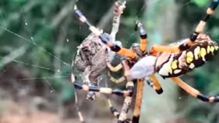 El sorprendente ataque de una araña a una rana atrapada en su red