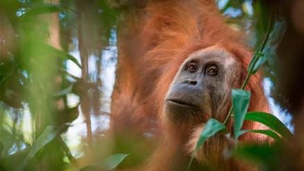 Descubren en Sumatra una nueva especie de orangután formada por solo 800 ejemplares