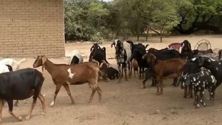 Bagua: familias asustadas por ataque de león de campo