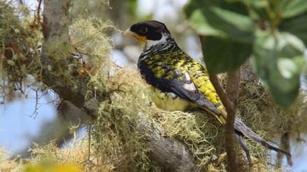 La palkachupa, la hermosa ave boliviana que estuvo