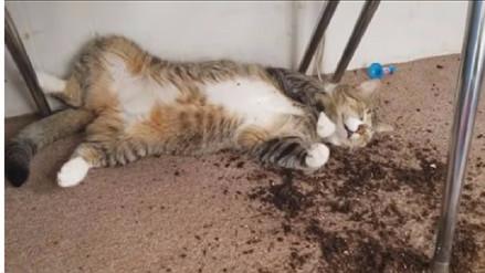 Video | Así reaccionaron estos gatos tras comer la marihuana de su dueña