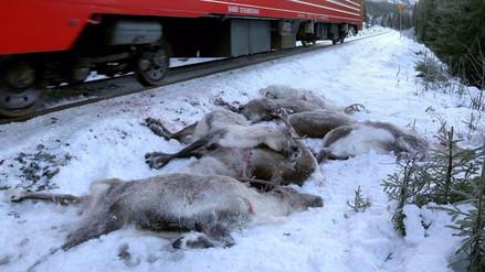 Más de cien renos mueren atropellados por trenes en Noruega