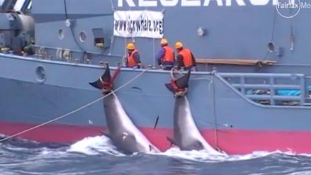 ONG difundió un video sobre matanza de ballenas por barcos japoneses