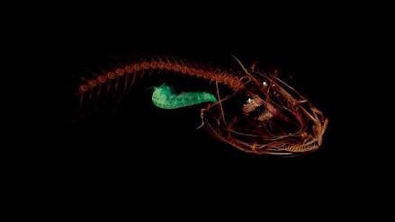 Descubren al pez que habita en las profundidades más extremas del océano