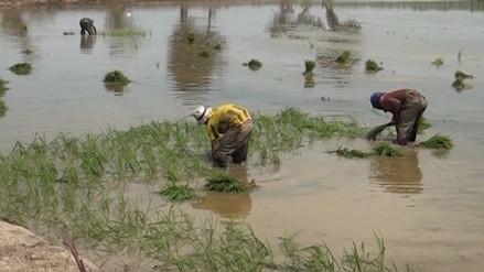 Se inició siembra de 30 000 hectáreas de arroz en el valle Chancay