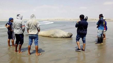 Mar varó a un elefante marino en el Puerto Casma