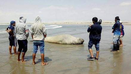 Elefante marino permanece en el Puerto de Casma y goza de buena salud