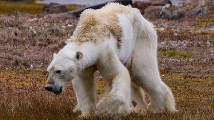 Un video desgarrador muestra a un oso polar famélico en una tierra sin hielo