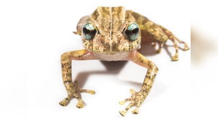 Ecuador: descubren nueva especie de rana con ojos celestes