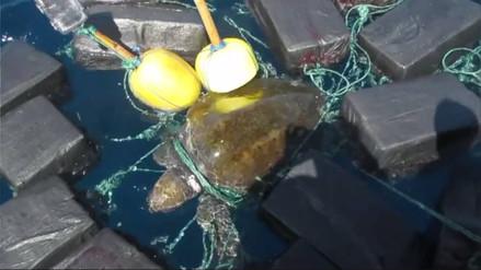Rescatan a tortuga enredada en 800 kilos de cocaína