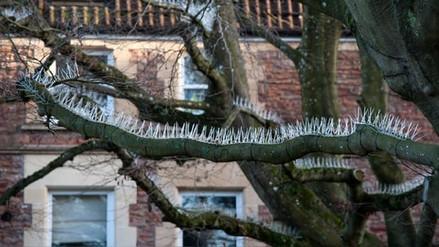 Colocan púas en los árboles para que los pájaros no ensucien los autos