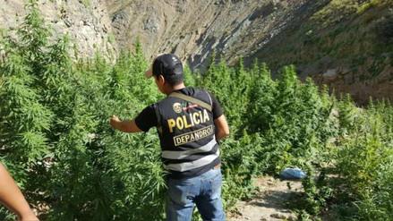 Policía incautó más de seis mil plantones de marihuana en Huarmey