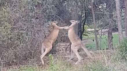Un australiano detuvo una pelea entre dos canguros 'boxeadores'