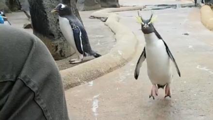 Video | Así celebró este encantador pingüino la llegada de la Navidad