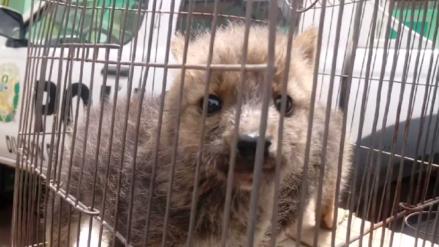 Rescatan cachorros de zorro andino abandonados en Sicuani