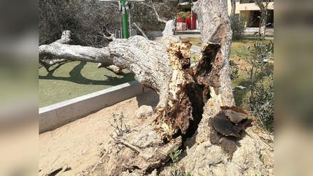 Trujillo: Árbol cae sobre máquinas en parque de San Andrés