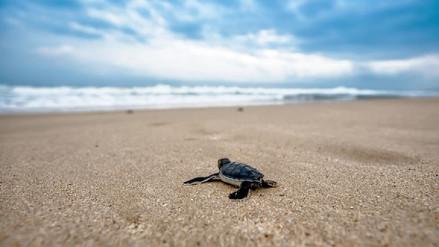 Casi todas las tortugas verdes ahora son hembras a causa del cambio climático