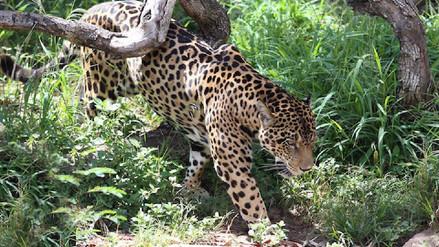 Cazadores en línea: cómo las redes sociales impulsan el comercio de jaguares