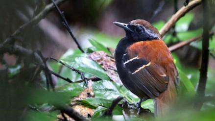 Conoce al Hormiguero de la Cordillera Azul, la primera ave descubierta este año en Perú