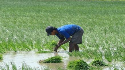 Trasplante de arroz debe ser hasta el 15 de febrero recomienda Senasa