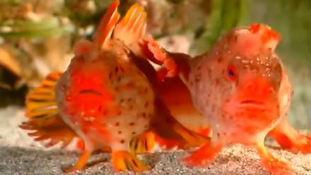 Descubren una pequeña población de peces que