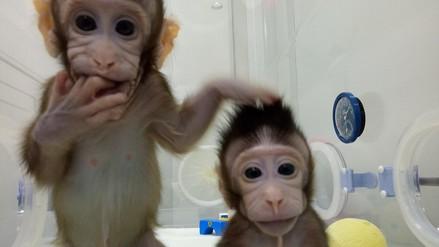 """PETA calificó la clonación de monos en China como """"un espectáculo de terror"""""""