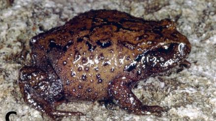 Descubren nuevas especies de rana en el Parque Nacional del Río Abiseo