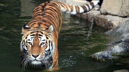 Un tigre mordió a su cuidador en Guatemala y le arrancó los dos brazos