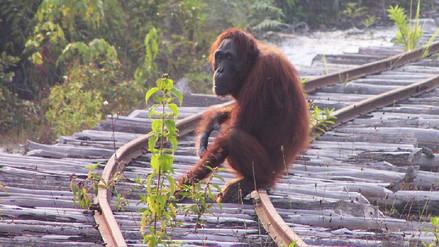 La población de orangutanes de Borneo pierde más de 100,000 ejemplares en los últimos 16 años