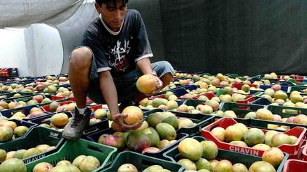 Productores de mango de Olmos denuncian que precios bajaron 50%