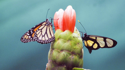 Fotos | Un santuario de mariposas para frenar la deforestación en San Martín