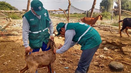 Personal de Senasa inicia vacunación contra ántrax en Lambayeque