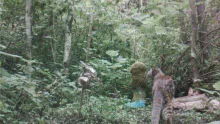 Felinos y aves captados por cámaras trampa en bosques secos de Perú